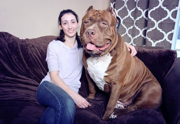 Meet-Hulk--The-Giant-175lb-Family-Pit-Bull (1)